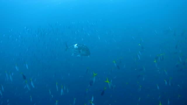Big trevally hunts the bait fish video