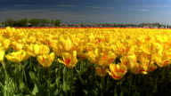 CLOSE UP: Big vast field of stunning red and yellow tulips swaying in the wind video