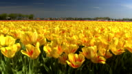 CLOSE UP: Big vast field of stunning red and yellow tulips swinging in the wind video