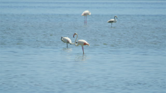 Big white flamingos walking in the water searching for food video