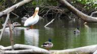 Big White Pelican Feels Accepted Among Mallard Ducks video