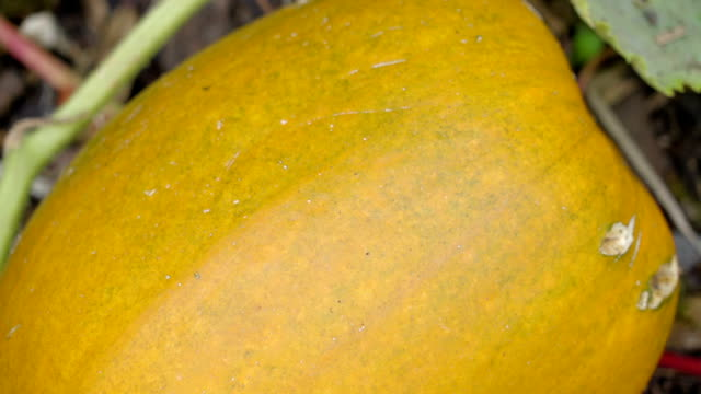 A big yellow fruit of a vegetable plant video