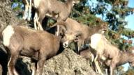 bighorn sheep herd video