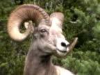 BigHorn Sheep - NTSC DV video