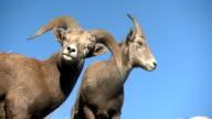 Bighorn Sheep ram and ewe. video