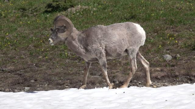 Bighorn sheep ram eats snow Glacier National Park Montana video