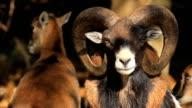 Bighorn Sheep Ram video