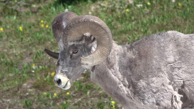 Bighorn sheep ram walks Garden Wall meadow Glacier National Park Montana video