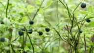 Bilberry - panning right video