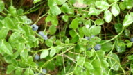 Bilberry video