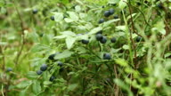 Bilberry - zoom in video