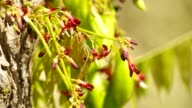 bilimbi fruits and flowers with pollinators video