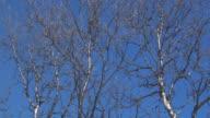 Birch 01 video