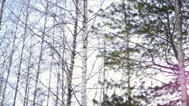 Birch and pine trees in the forest video