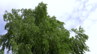 Birch branches with green leaves swaying in the wind on a background of sky and clouds. Footage 4K video