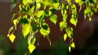 Birch catkin video