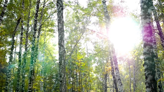 birch forest in sunlight video