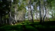 Birch grove, summer sunny day video