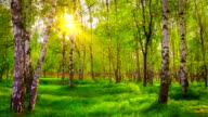Birch grove. video