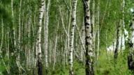 Birch in summer on the wind video