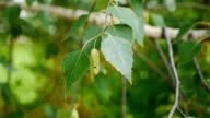 A birch is in spring with green leaves and rings video
