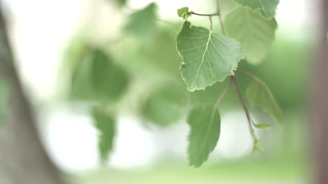 CLOSE UP SELECTIVE FOCUS Birch leaves swaying on breeze video