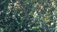 Birch leaves tremble in the wind video