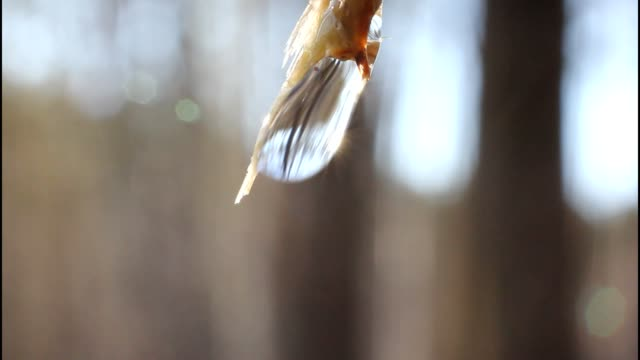 Birch sap. video