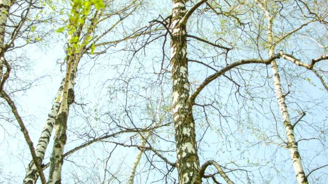 Birch spring leaves video