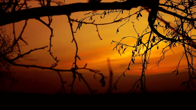 birch sunset silhouette tree on branch nature orang landscape video