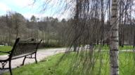 birch tree branch swing in wind in park. video