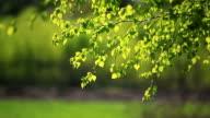 Birch tree video