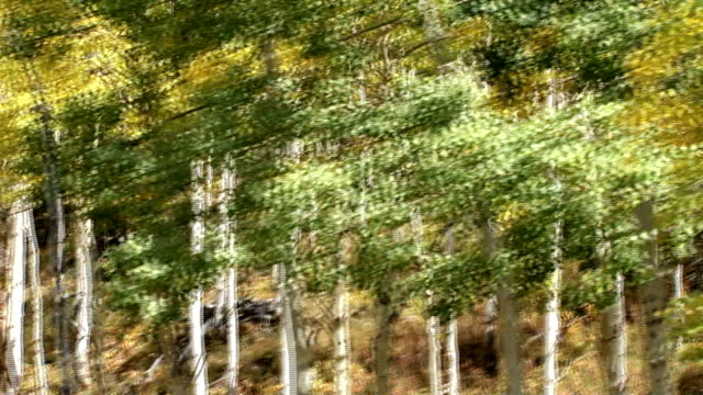 Birch trees FX video