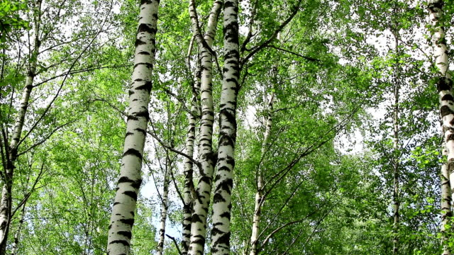 Birch trees in a forest video