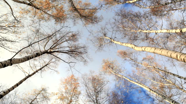 Birch trees. Low angle. video