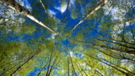 Birch trees on a sunny day video
