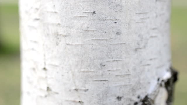 Birch trunk video