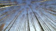 Birch-Tree - 4:2:2 video