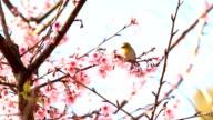 Bird and Wild Himalayan cherry video