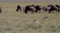 bird and wildebeests in the veld video