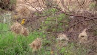 Bird Asian Golden Weaver (Ploceus hypoxanthus). It is making nests on branches. video