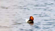 bird black duck wild floats on water in natural lake reeds conditions video