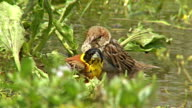 Bird Black-headed Bunting bathing in the water during hot day video