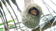 HD: bird build nest on coconut tree video