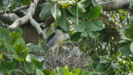 Bird (Black-crowned night heron) caring flapper in a nest on tree. video