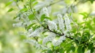 Bird cherry branch with white blossom trusses and new green leaves, waving in the spring light wind on blur bright green background. video