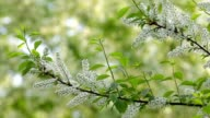 Bird cherry branches with white blossom trusses and new green leaves, waving in the spring light wind on blur bright green background. video