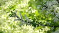 Bird cherry twig with white blossom trusses and new green leaves, waving in the spring light wind on blur sunlit green background. video