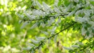 Bird cherry twigs with white blossom trusses and new green leaves, waving in the spring light wind on blur bright green background. video