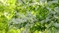 Bird cherry twigs with white blossom trusses and new green leaves, waving in the spring wind on blur bright green background. video